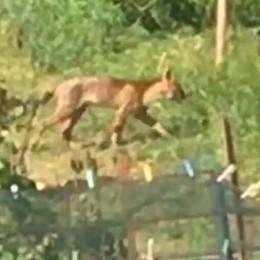 «Il puma si nasconde in mezzo ai boschi»  Due avvistamenti a Concagno e Faloppio