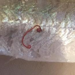 Porlezza, trovato un parassita nei persici del Ceresio