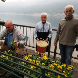 Benefattore dona 200 violette  La risposta ai vandali di Colonno