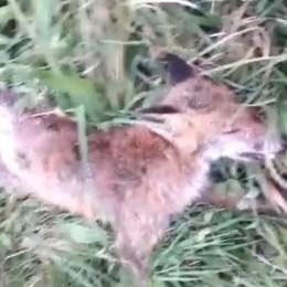 Due volpi trovate morte a Santanaga  «Attenzione, possono portare malattie»