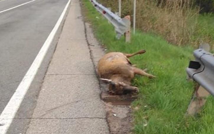 Incidenti con i cervi, Coldiretti protesta  «Ormai la situazione è fuori controllo»