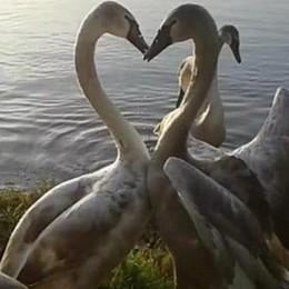 La foto romantica dei cigni  dopo il salvataggio