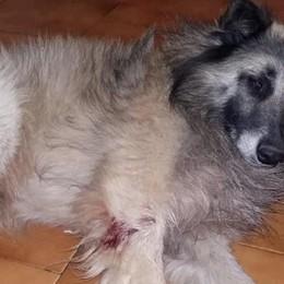 Erba, cani feriti a colpi di pallini  Allarme vicino al cimitero