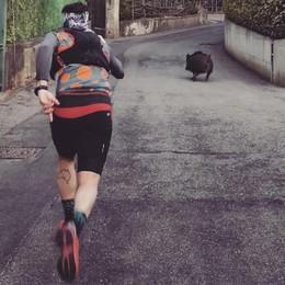 Corsa con i cinghiali a Rovenna  «Così li ho riportati nei boschi»   GUARDA IL VIDEO