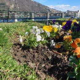 Como, passeggiata di Villa Olmo  Primule piantate e subito rubate