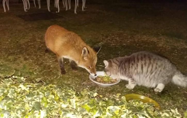 Laglio, il gatto e la volpe  che mangiano insieme