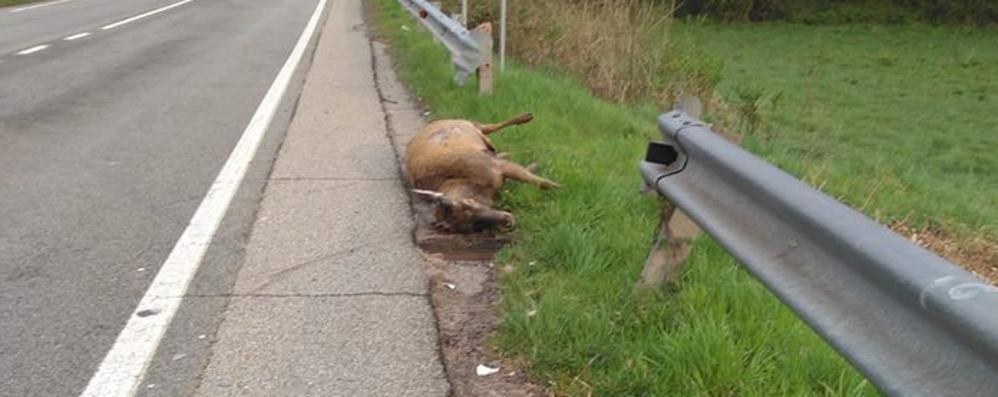 Grandola: il cervo attraversa   Altro scontro con l'auto