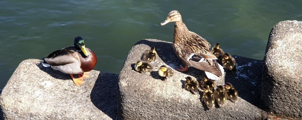 I dieci anatroccoli  con mamma e papà