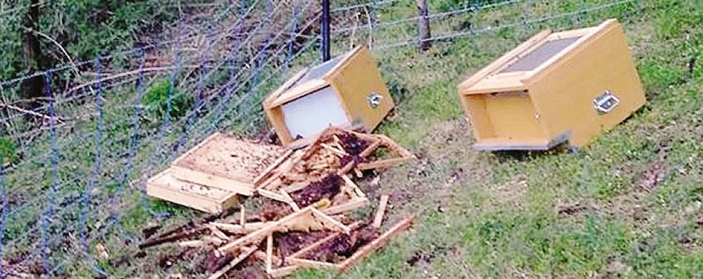 Due arnie distrutte,  l'orso è tornato in Valtellina