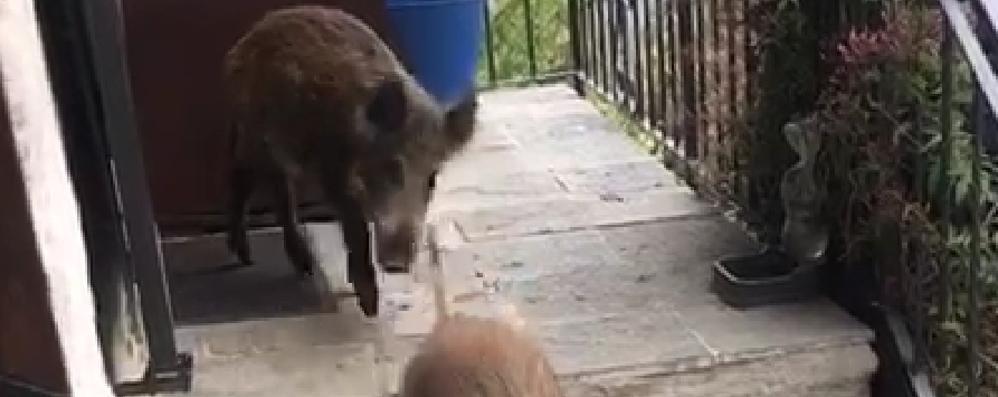 «Vivo con i cinghiali   sulla porta di casa   GUARDA IL VIDEO
