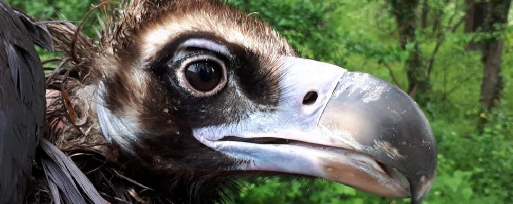 Avvoltoio sfinito arriva ad Alserio  È estinto in Italia