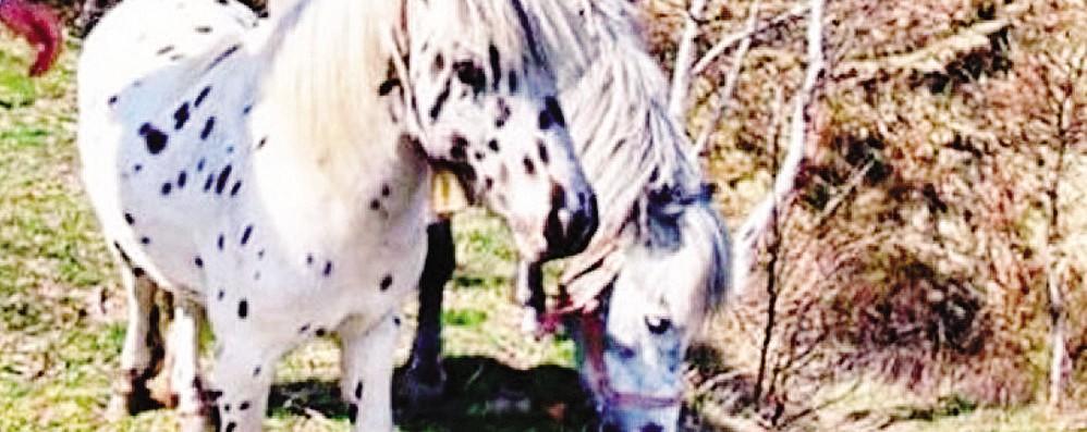 Pony ucciso con un proiettile  «Lo hanno fatto di proposito»