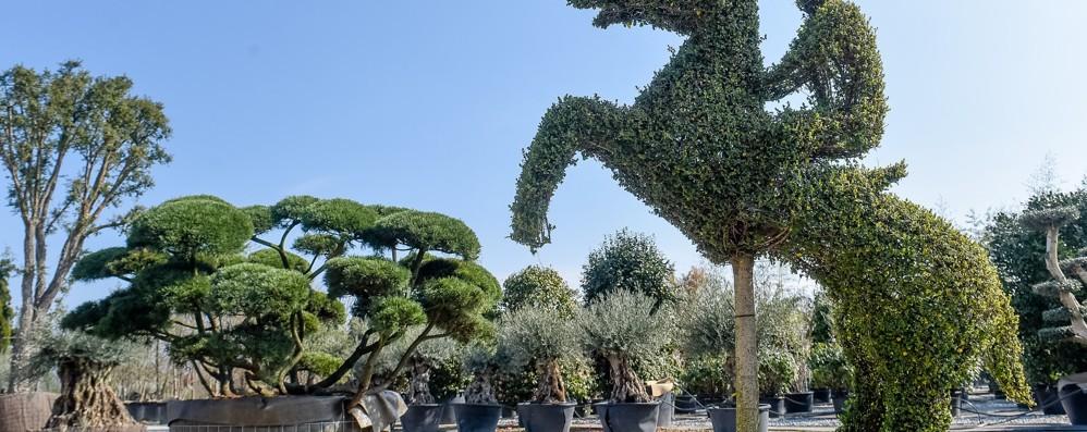 Riva Piante, nuova sfida  Lo spettacolo del verde  nello showroom di Lurago