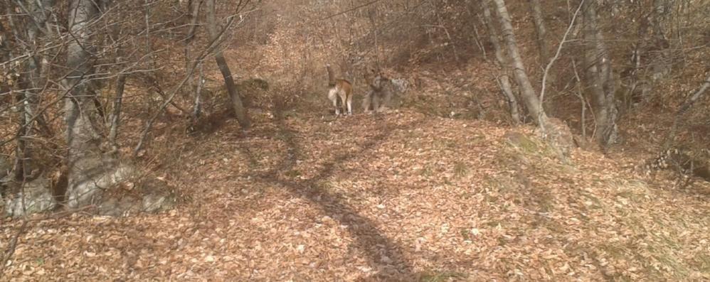 Altro che lupi sul lago  I cani liberi fanno più danni