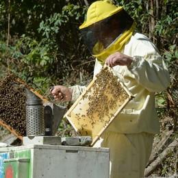 Freddo e piogge sul Lario:  sarà un anno senza miele  Danni pesanti alle aziende
