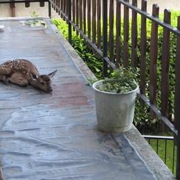 Ecco il Bambi neonato  Mamma cerva  partorisce sul balcone