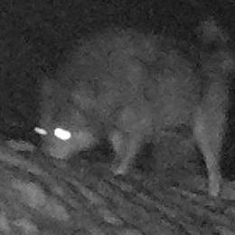 Garzeno, lupi arrivano fuori dalle case  Sbranata una capra vicino alla stalla