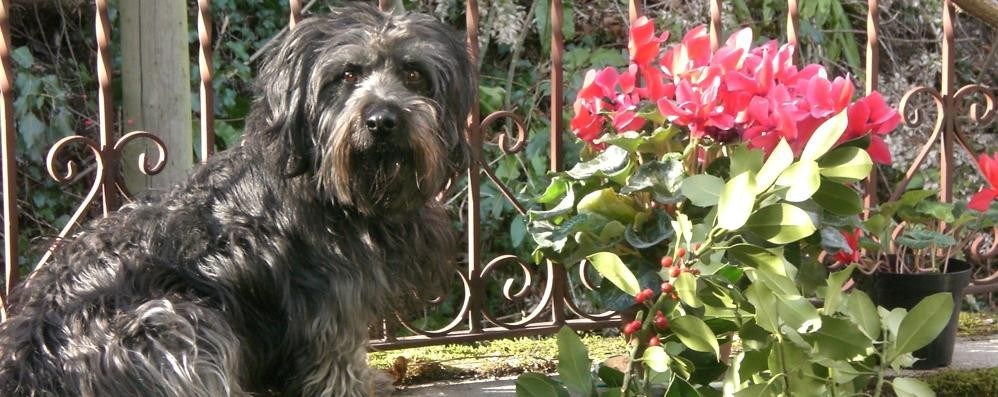 Un cinghiale sul terrazzo  a Grandola: ucciso il cane