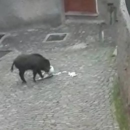 Cinghiale a Brunate Disastri in centro