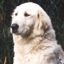 Cane maremmano uccide cucciolo  Secondo episodio, è allarme