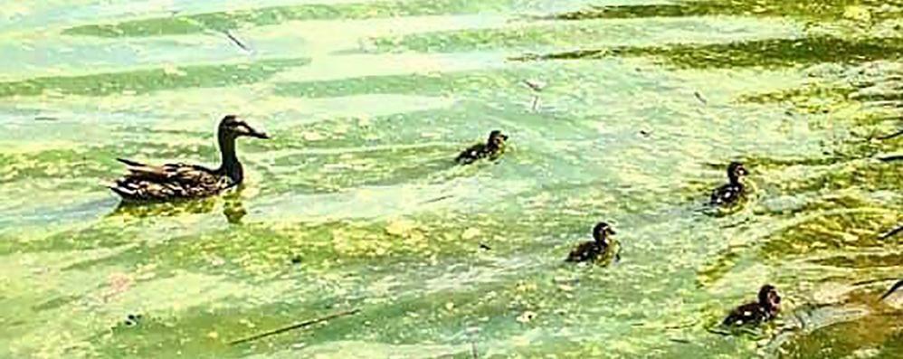Montorfano, odori e acqua verde  Le alghe nel lago colpa del caldo
