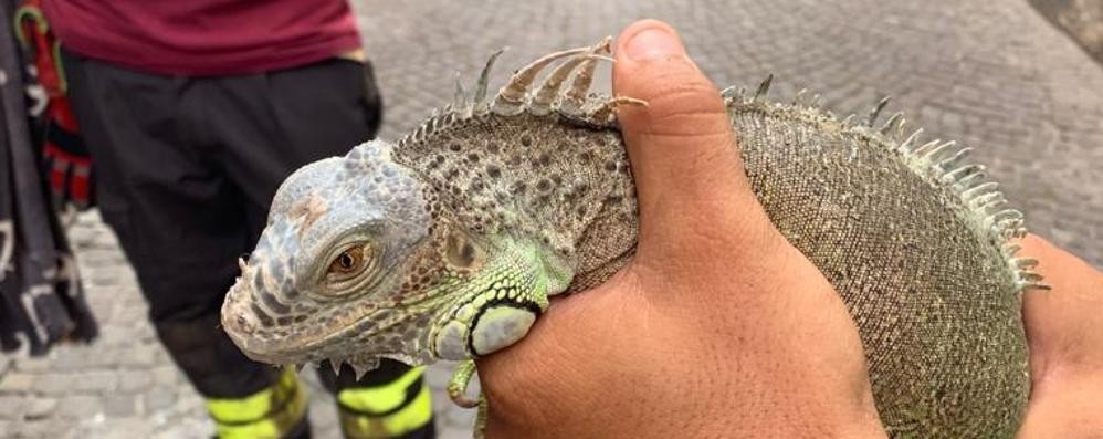 Gravedona, iguana scappa sui tetti  Rincorso e bloccato dai vigili dei fuoco