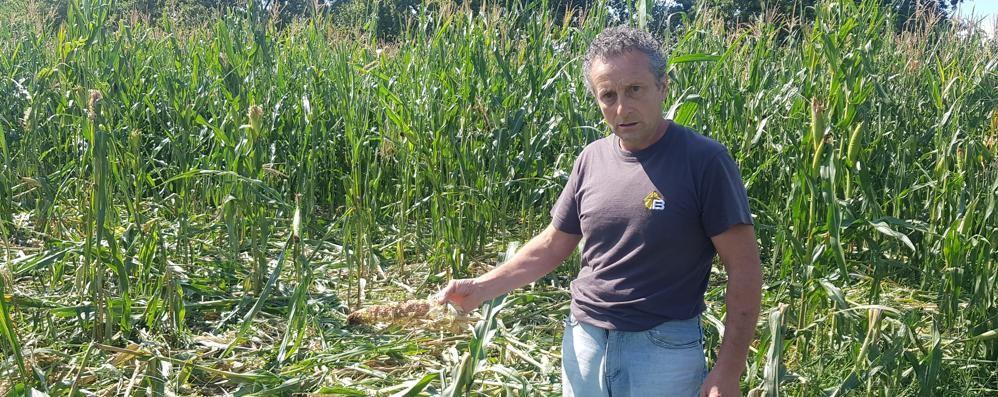 Colverde, rabbia degli agricoltori  «Campi devastati dai cinghiali»