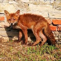 Cucciolo di volpe si perde in centro  Olgiate, nutrito e poi liberato   GUARDA IL VIDEO