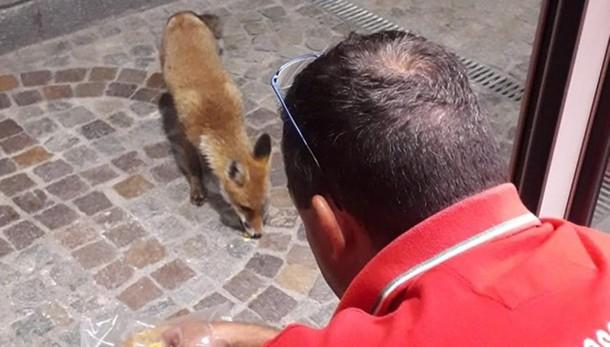 """San Fedele,  la volpe """"bussa"""" alla porta  Sfamata dal volontario della Cri"""