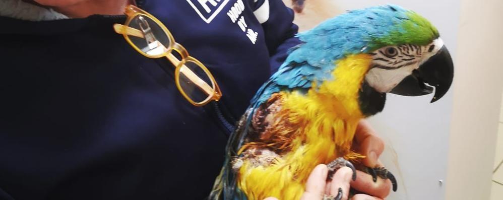 Ferito il  pappagallo Filippo   Colverde, non potrà più volare