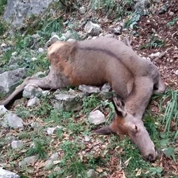 Menaggio, uccisa cerva in allattamento  È stata trovata sulla pista ciclabile