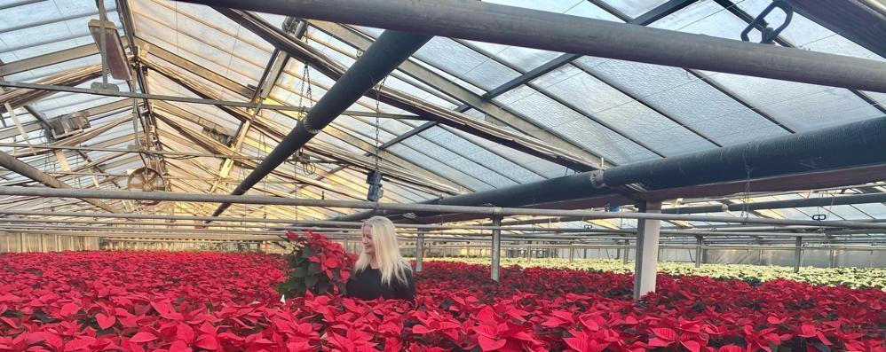 Stelle di Natale,  80 mila piante a Como  «Dobbiamo buttarle?»