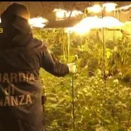 A Capiago una piantagione di marijuana Due canturini si costituiscono alla Finanza