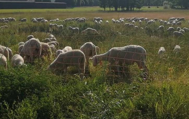 Scompare gregge di 400 pecore  Caccia ai ladri nei campi di Luisago