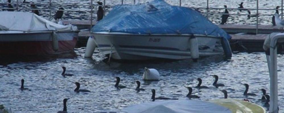 Lezzeno, i cormorani da eliminare  «Cacciatori in attesa del corso Ats»
