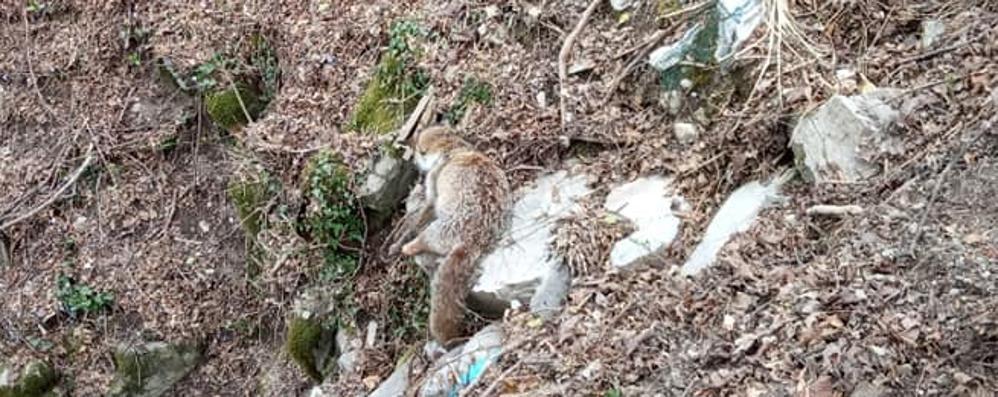 La volpe strangolata dalla trappola  E l'indignazione corre anche in rete