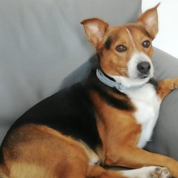 Pitbull in libertà azzanna un cane  «L'ho salvato con calci e cinghiate»