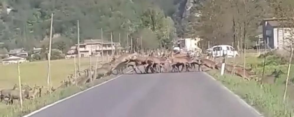Sorico, troppi cervi vicini alle stalle  «Le mie mucche si sono ammalate»