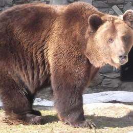 Gli orsi di Aprica  Sono usciti dal letargo