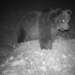La gente è in casa, l'orso scende  Avvistato in Val Poschiavina