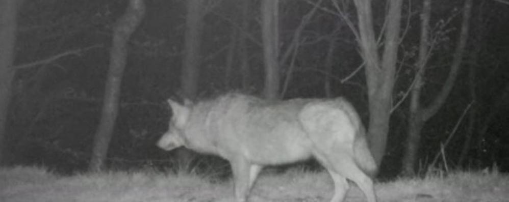 """Valle Albano, tre lupi a caccia di cinghiali  L'assalto ripreso dalle """"fototrappole"""""""