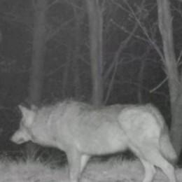 """Valle Albano, tre lupi a caccia di cinghiali L'assalto ripreso dalle """"fototrappole""""   GUARDA IL VIDEO"""