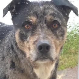 Un altro cane ferito a Faloppio  «Quel meticcio è pericoloso»