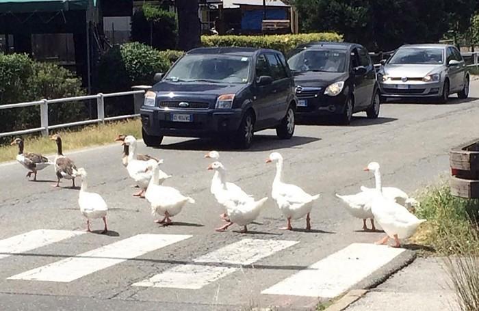 Tutti fermi per permettere alle oche di attraversare la strada del Segrino