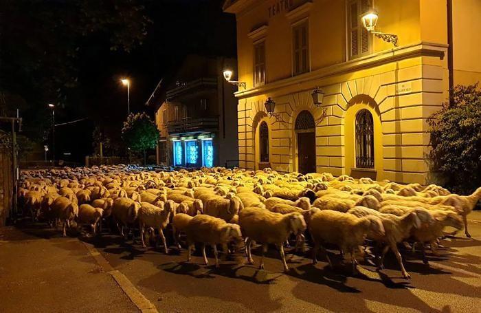 La transumanza delle pecore davanti al Teatro Sociale di Canzo