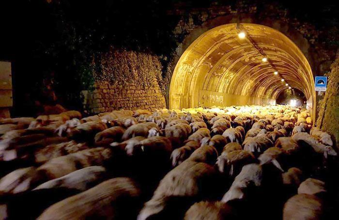 Le pecore all'uscita dalla galleria