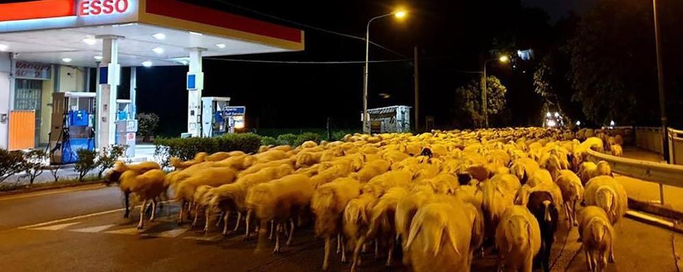 Transumanza show  nella notte 720 pecore da Canzo al Pian Tivano