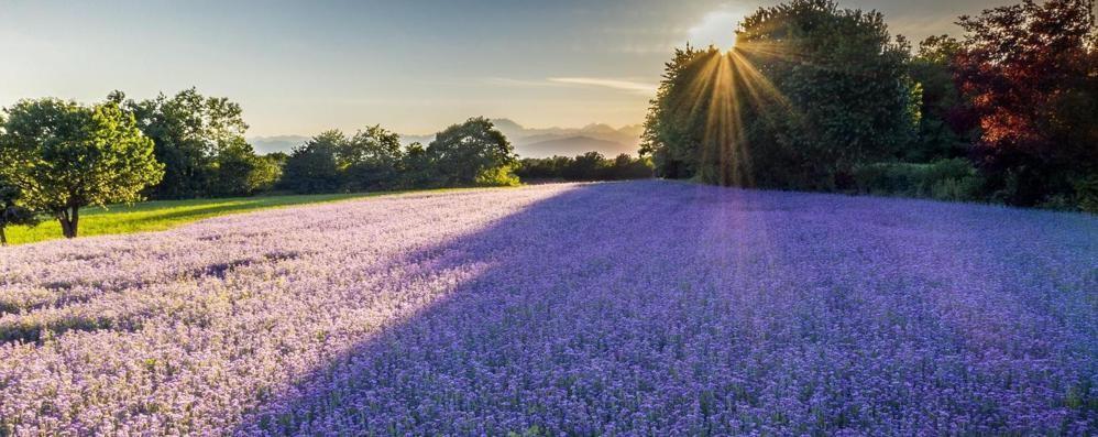 I campi con i fiori lilla  attirano pure i fotografi