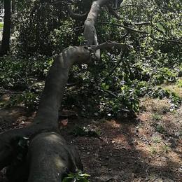 Cade un ramo del faggio  Parco aperto, nessun ferito