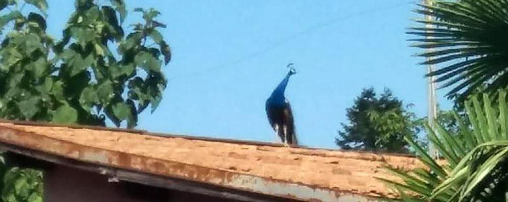 Anzano, il pavone in libertà disturba  Il Comune incarica ditta per catturarlo